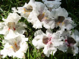 Fallen Catalpa Tree Blossoms