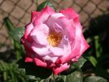 Paradise Roses