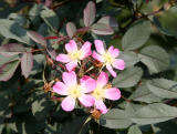 Glauca Rose