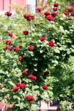 Don Juan Rose Arbor