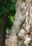 Squirrel on a Black Locust Tree