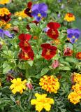 Pansy & Marigold Flower Box - Dojo Restaurant