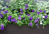 NYU Petunia Flower Box