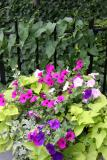 Petunias, Morning Glories & Ivy