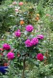 Ebb Tide Roses