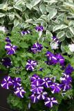 Flower Box - Petunias & Dogwood