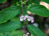 Beauty Berry Bush Blossoms