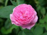 Catherine Guillot Rose