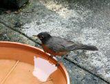 Robin in the Bird Bath