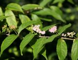 Beautyberry Bush Blossoms