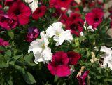 Red & White Petunias