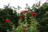 Don Juan Roses on Top of the Rose Arbor
