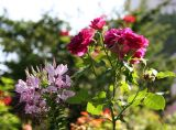 Cleome & Ebb Tide Roses