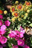 Gaillardia & Petunias