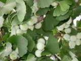 Ginkgo Nuts