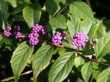 Beauty Berry Bush or Callicarpa