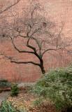 St Luke's Church Garden - Crab Apple Tree