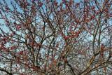 Crab Apple Tree Fruit