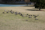 Canadian Geese - Hudson River Park