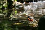 Robin Bathing near the Azalea Pond in the Rambles