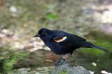 Red Winged Black Bird near the Azalea Pond in the Rambles