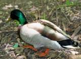 Duck near the Azalea Pond in the Rambles