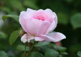 Roses 2008