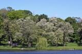 Black Locust Trees in Bloom - Harlem Meer