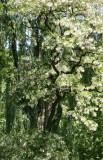 Black Locust Tree Blossoms - North Pool Area