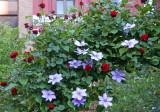 Don Juan Red Roses & Clematis