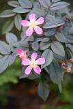 Glauca Roses