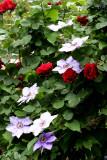 Don Juan Roses & Clematis