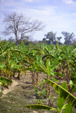 Banana plantation, Southern Somalia