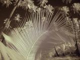 IR Palms and Frond