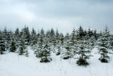 Grey Pines