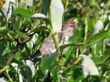Common Redpoll (summer plumage)