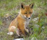 Arctic Red Fox