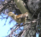 Taiga Spruce grouse chick