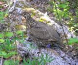 Taiga spruce grouse