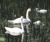Trumpter swan family