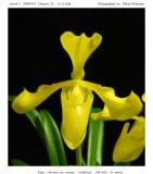 20085933 - Paph. villosum v. aireum 'Goldfinch' AM/AOS 82 pts.