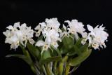 20083266 - Cattleya labiata var. suave 'Sammy Miami Walker'  CCM/AOS 85 points
