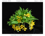 20092903 -  Promenea Meadow Gold  'Amore Mother Aery'  CCM/AOS 87 pts.