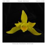 20092905 -  Paosthechea citrina 'Memoria Helen Ray' AM/ AOS 85 pts.