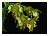 20092906 - Dendrobium Finisterrae 'Kaley's Pet'  AM/AOS 84 pts.