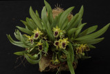 20092920  -  Haraella retrocalla syn. odorata 'Silas'  CCM AOS 83 pts.jpg