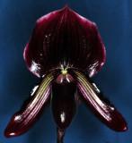 20105433  Paph.  Faire - Maud  Arni's 'Red Blend'  AM AOS 82points.jpg