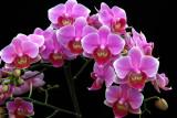 20105469  -   Doritaenopsis Beauty Sheena 'Rin Rin' AM AOS 83 points.jpg