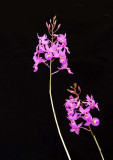 20113300  -  Bardendrum 'Sue Golan' AD AOS J. F. Spatzek 1-8-2011 close up