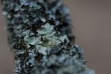 700_4843 groot schildmos (Parmotrema chinense, Chinese parmotrema lichen).JPG